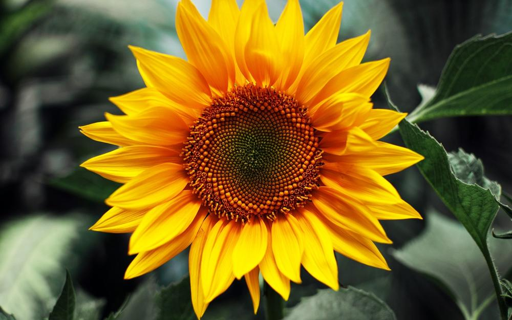 304835-sunflower.jpg